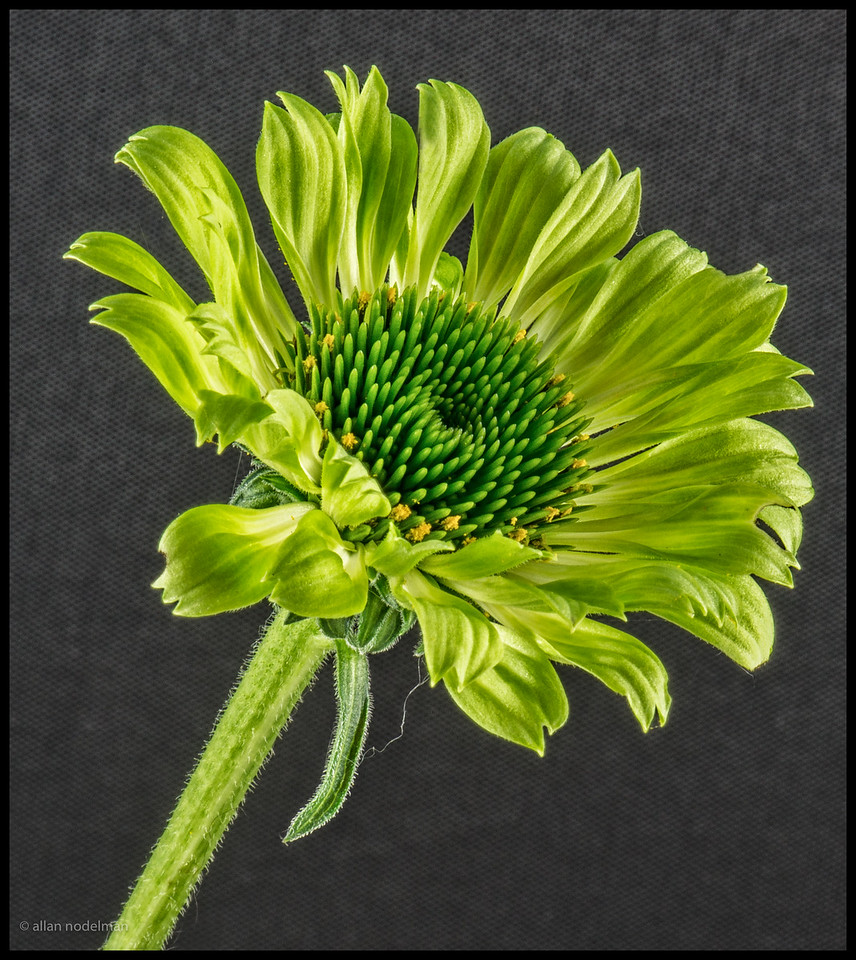 This is the actual colour of this cone flower from our garden