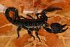 Emperor Scorpion,  Pandinus imperator