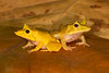A pair of Solomon Island Leaf Frogs