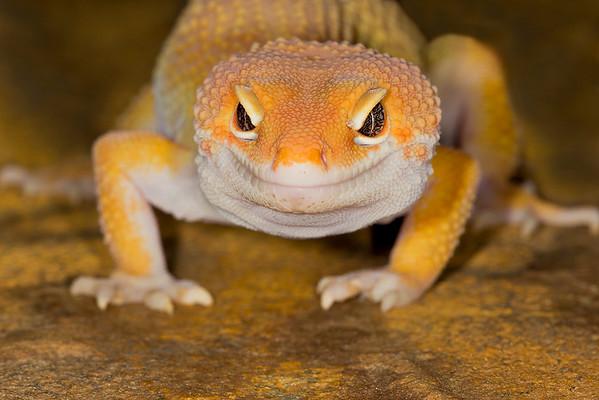 Leopard gecko head on view