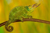 Jackson's Chameleon,  native to Kenya