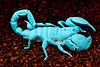 Emperor Scorpion under black light.  No flash used for this image
