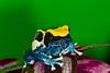 Brazilian Cobalt Frog,  Dendrobates tinctorius
