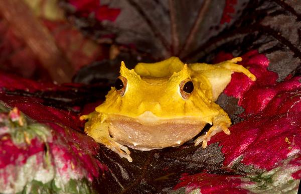 Solomon Islands Leaf Frog,  Ceratobatrachus guentheri