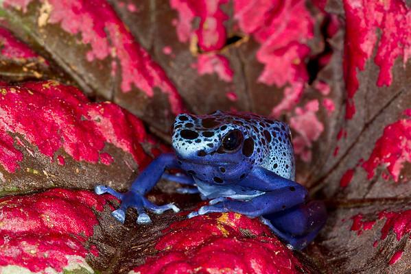 "Blue Poison Frog,  Dendrobates tinctorius ""azureus"",  native to Surinam"