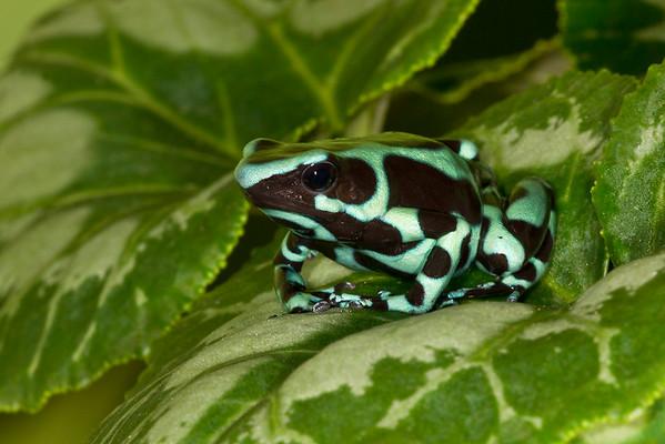 Costa Rican Green and Black Dart Frog,  Dendrobates auratus
