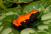 Splash-back Dart Frog