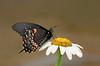 lack Swallowtail