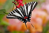 Butterflies : Many of these butterfly images are from Lukas Nursery.  Some are from the wild or other butterfly conservatories.  All images are at least 65 MB and are for sale, but you must notify me as to size desired.  Last updated 09/15/09