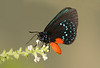 Atala on sweet almond