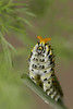 Black Swallowtail caterpillar with osmentarium raised