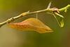 Spicebush swallowtail caterpillar chrysalis