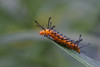 Oleander Moth caterpillar