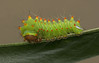 Polyphemus moth caterpillar.  His spines remind me of candy corn.