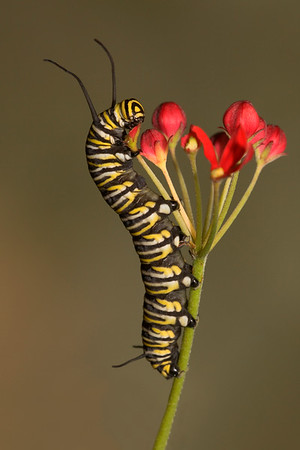 Monarch caterpillar on milweed.  A favorite of mine since the head looks like a target bullseye.