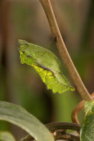 Gold Rim Swallowtail chrysalis