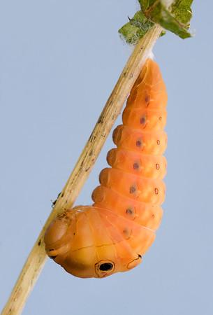 Spicebush swallowtail caterpillar preparing to pupate