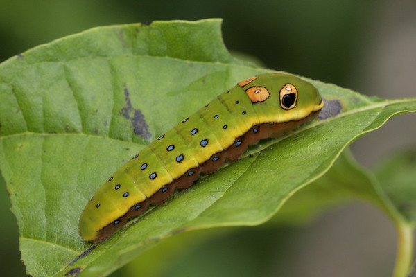 Spicebush swallowtail caterpillar.  He has 2 sets of false eyes whereas the palamedes swallowtail has but one set.