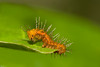 Gulf Fritillary early instar stage