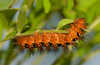 Echo Moth caterpillar