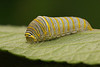 Zebra swallowtail caterpillar