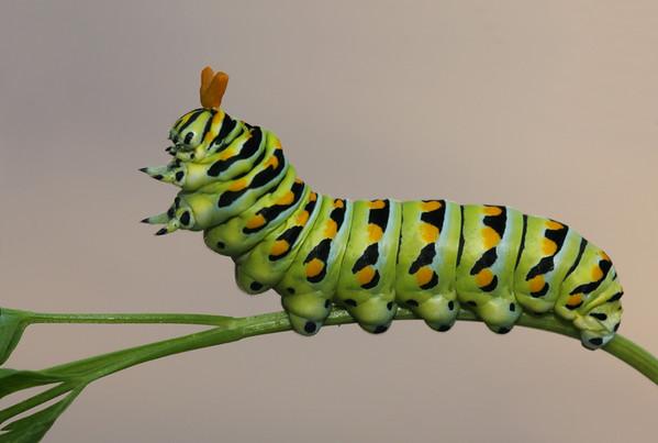 Black swallowtail caterpillar raised up with the osmentarium raised