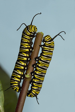 Two monarch caterpillars feeding