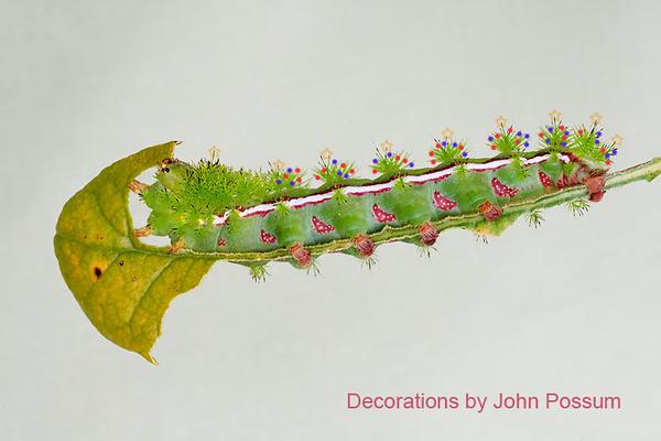 Io Moth caterpillar actively feeding.  Christmas decorations by John Possum, UK