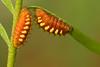 Atala caterpillars