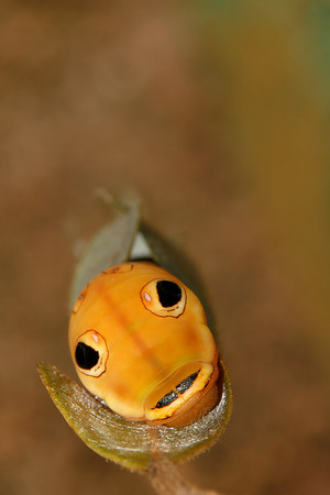 Head on view of this Spicebush swallowtail as it prepares to pupate