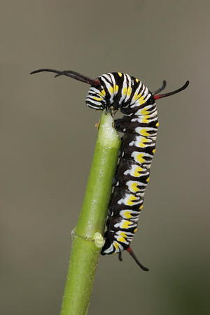 Queen caterpillar. Note the 3 sets of antennae whereas the monarch has but 2 sets.