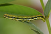 Orange barred caterpillar.  Black coloration, not the blue as seen with the cloudless sulphurs.