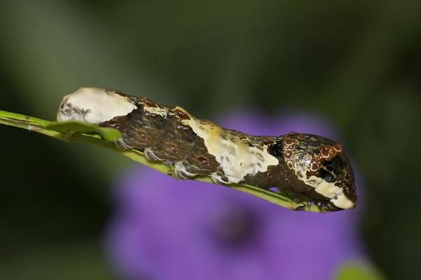 Giant Swallowtail caterpillar.  Thsi looks like bird poop,  A disguise mechanism