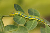 Cloudless sulphur caterpillar.  The blue coloration is distinctive
