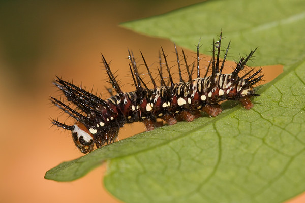 Julia caterpillar.  My are those spines long.