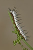 Zebra Longwing caterpillar