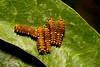 Gold Rim Swallowtail caterpillars