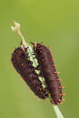 Goldrim swallowtail caterpillars