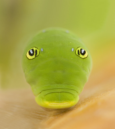 Tiger Swallowtail caterpillar.  His head is hidden. you are looking at his false eyes.