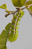 Io moth caterpillar actively feeding