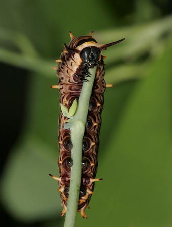 Gold Rim caterpillar