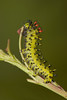 Cecropia moth caterpillar.  Do you dig those multicolored spines?