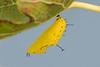 Ruddy Daggerwing chrysalis