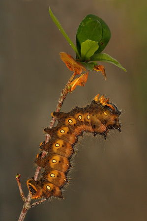 Imperial moth caterpillar.  Notice how his colors are getting darker