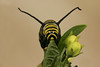 Monarch caterpillar heads on view,