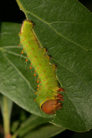 Poluphemus moth caterpillar.