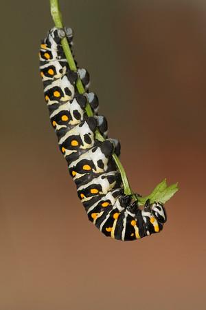 Black swallowtail caterpillar hanging down