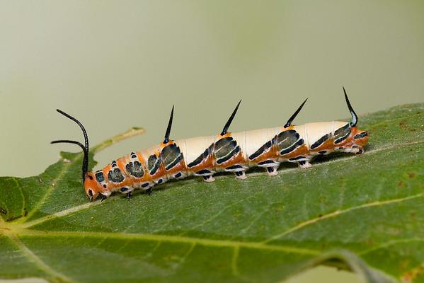 Ruddy Daggerwing caterpillar