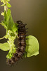 Red Admiral caterpillar