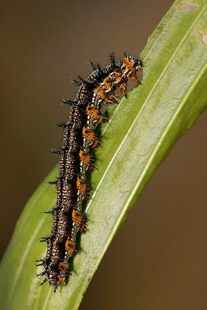 Buckeye caterpillar